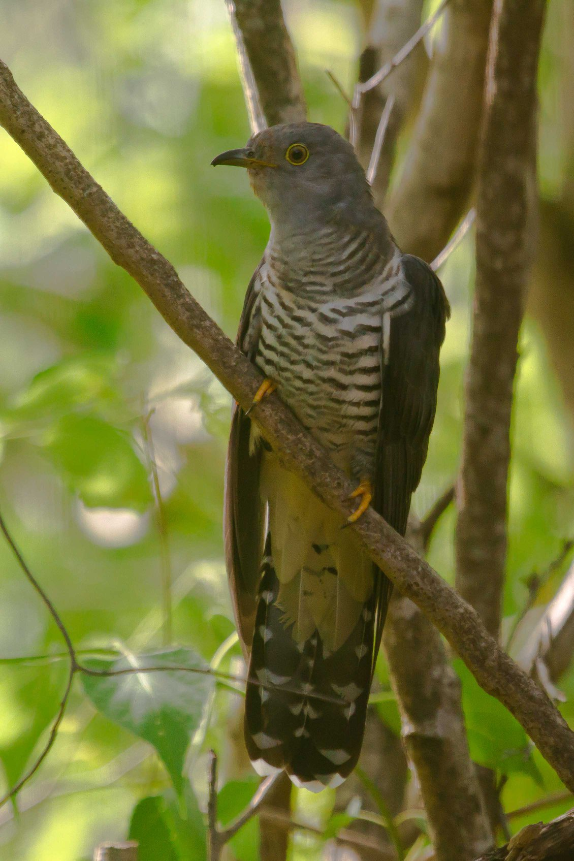 Oriental Cuckoo at the BBO taken through the Wardens window. Photo: Nigel Jackett