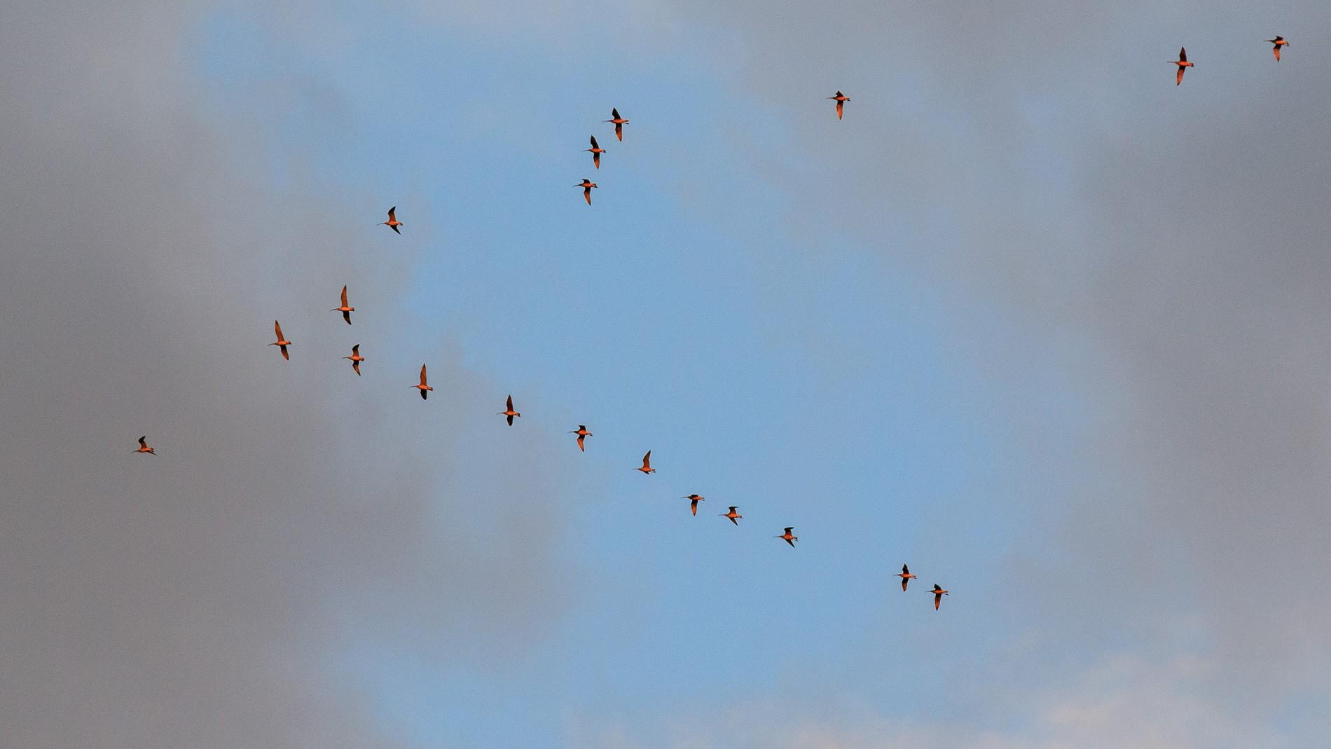 Eastern Curlew depart Australia! Photo: Tony Neilson