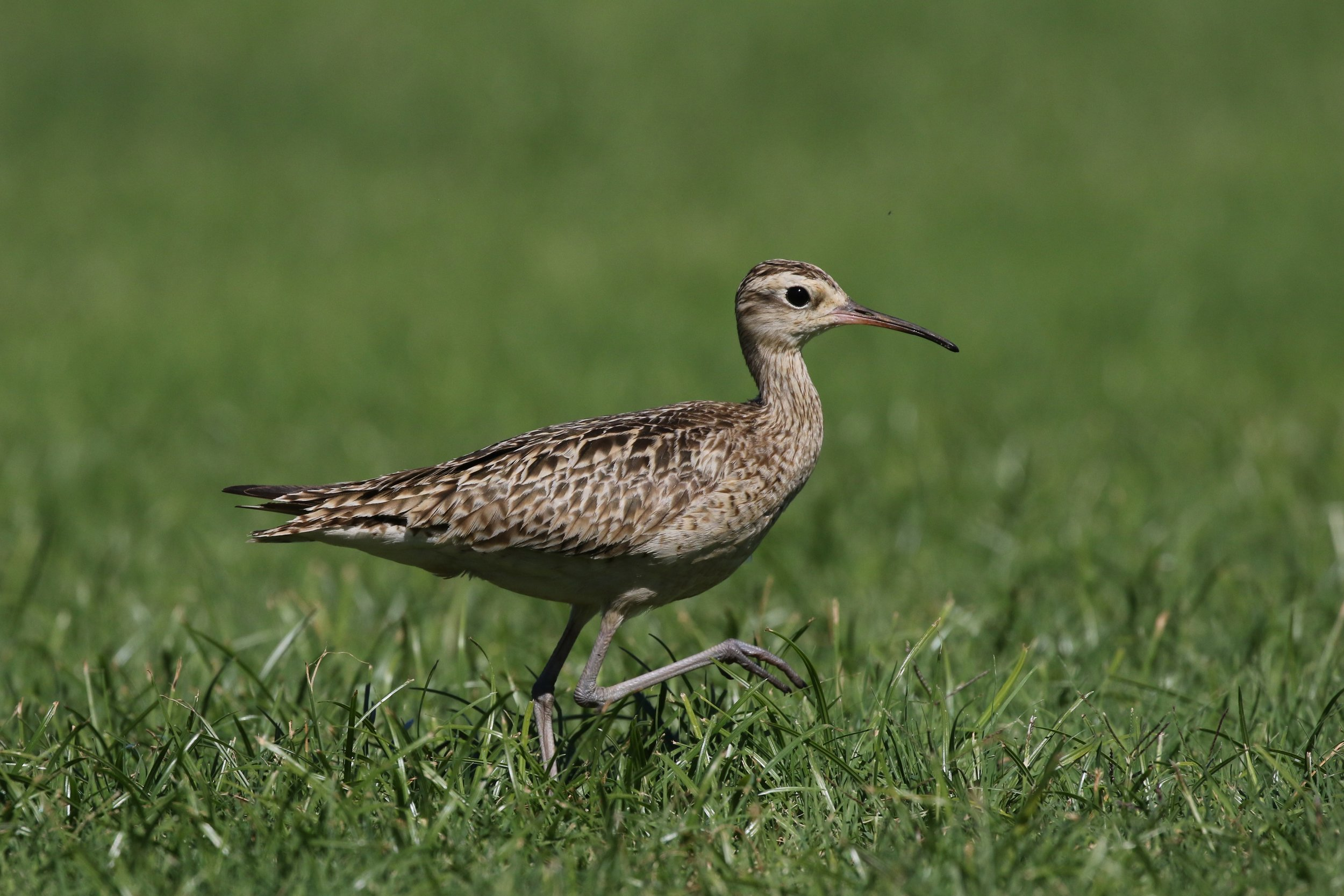 A lovely, and very early, Little Curlew on Haynes Oval in Broome. Photo: Andy Robinson