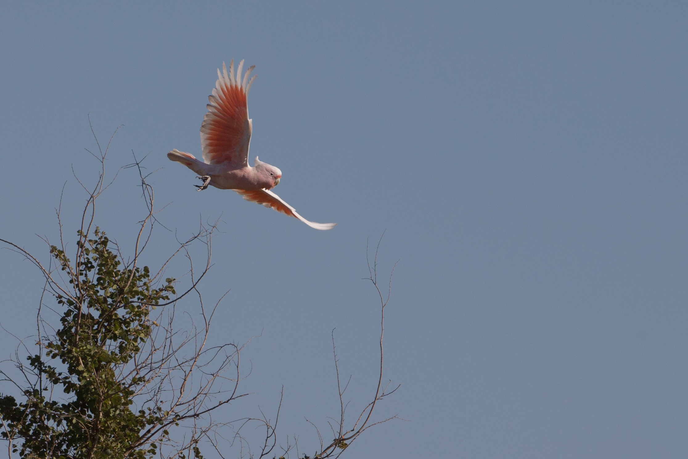 Major Mitchell's Cockatoo - a wonderful new addition to the Broome list. Photo: Adrian Boyle
