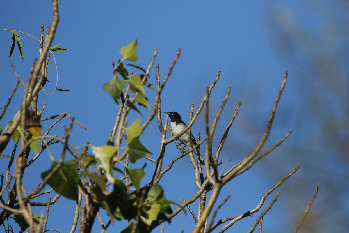 A nomad invasion along Dampier Downs Road! A male Pied Honeyeater. Photo: Andy Robinson