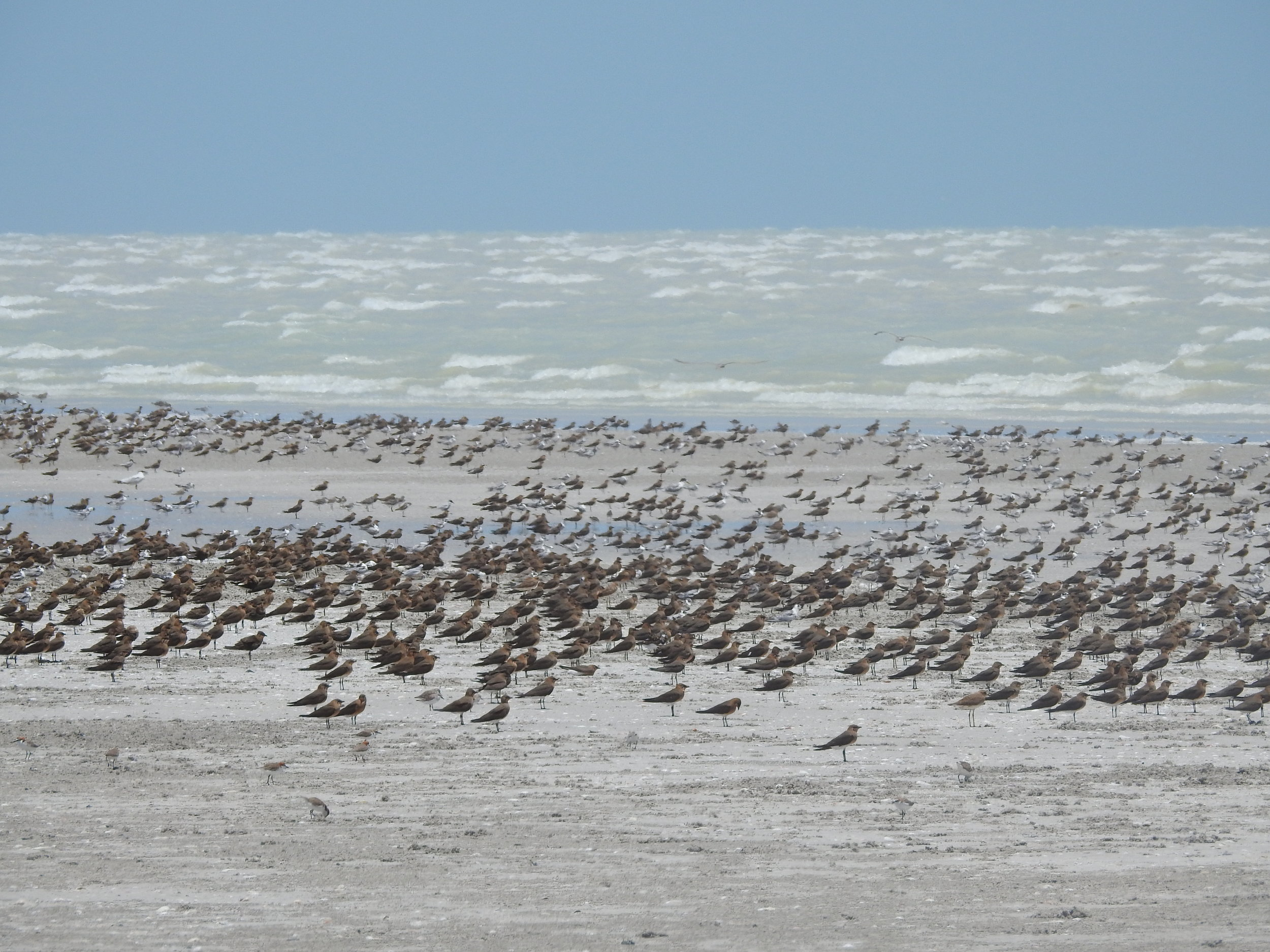 Oriental Pratincoles, other shorebirds and terns on Eighty Mile Beach. This just keeps on going, and the beach is even longer than its name suggests.