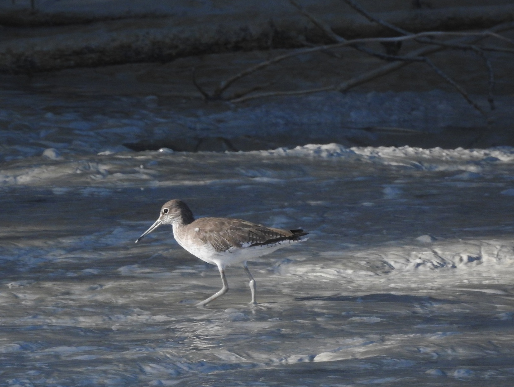A Common Redshank at Little Crab Creek. These birds are easy to identify thanks to their bright red legs. Unless they've spent the morning waist-deep in mud.