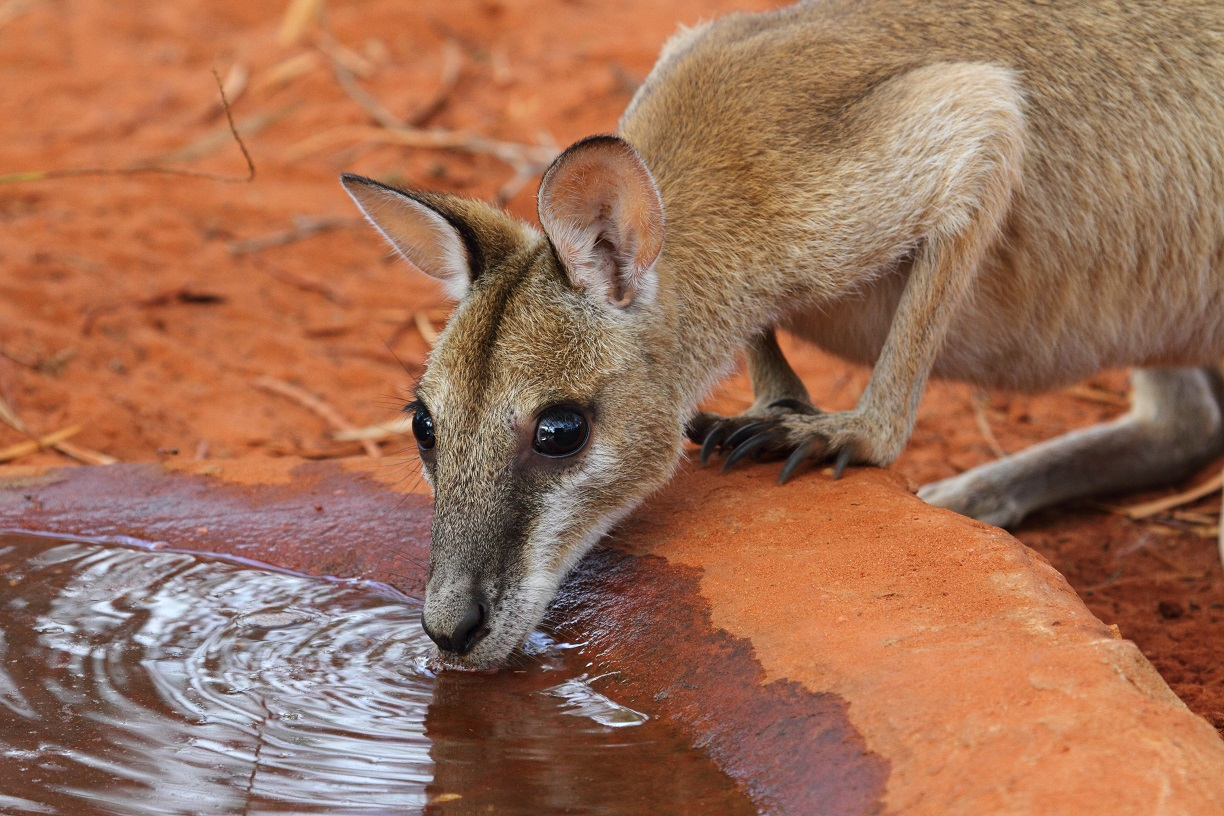 An Agile Wallaby bravely venturing a drink from a water bath. (Photo: Ric Else)