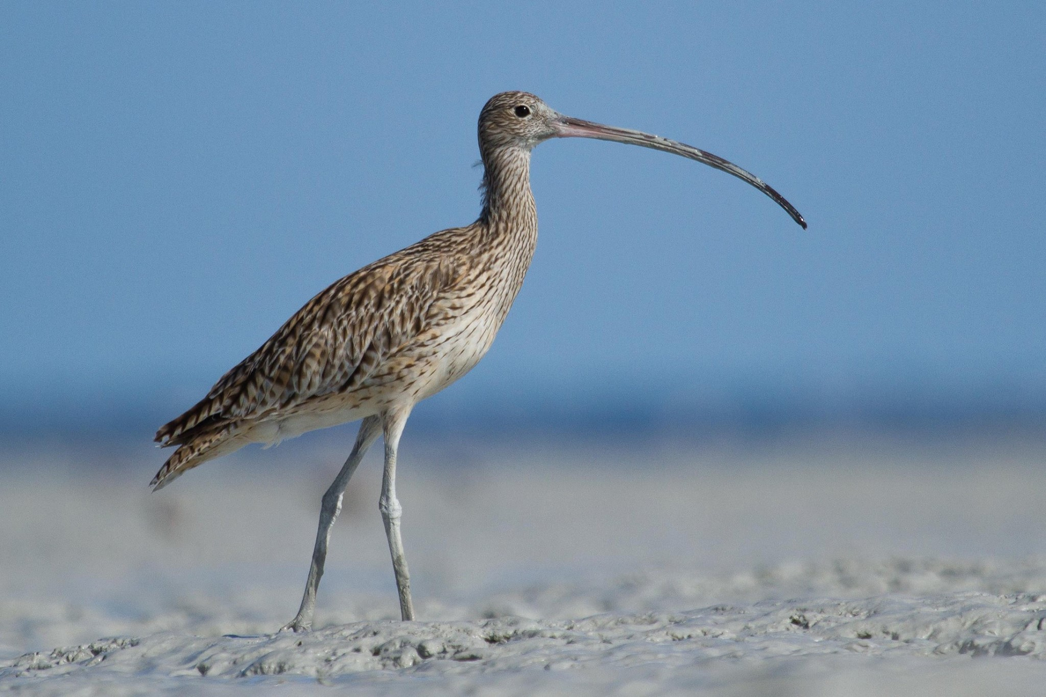 Eastern Curlew not migrating (photo: Nigel Jackett)