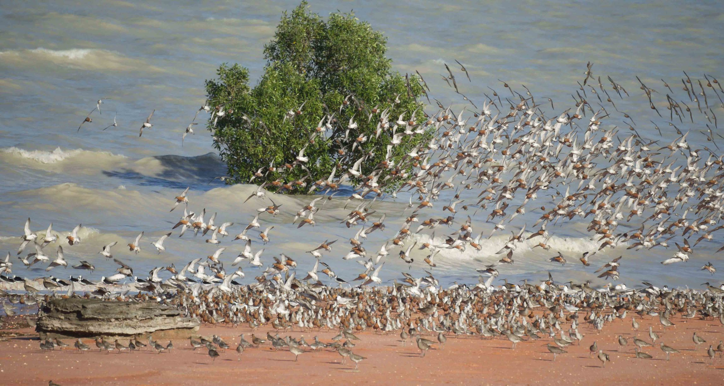 A flurry of Red Knots (among other shorebirds) are one of our last to migrate species, breeding in the far northern New Siberian Islands. Photo: Pauline Arnold