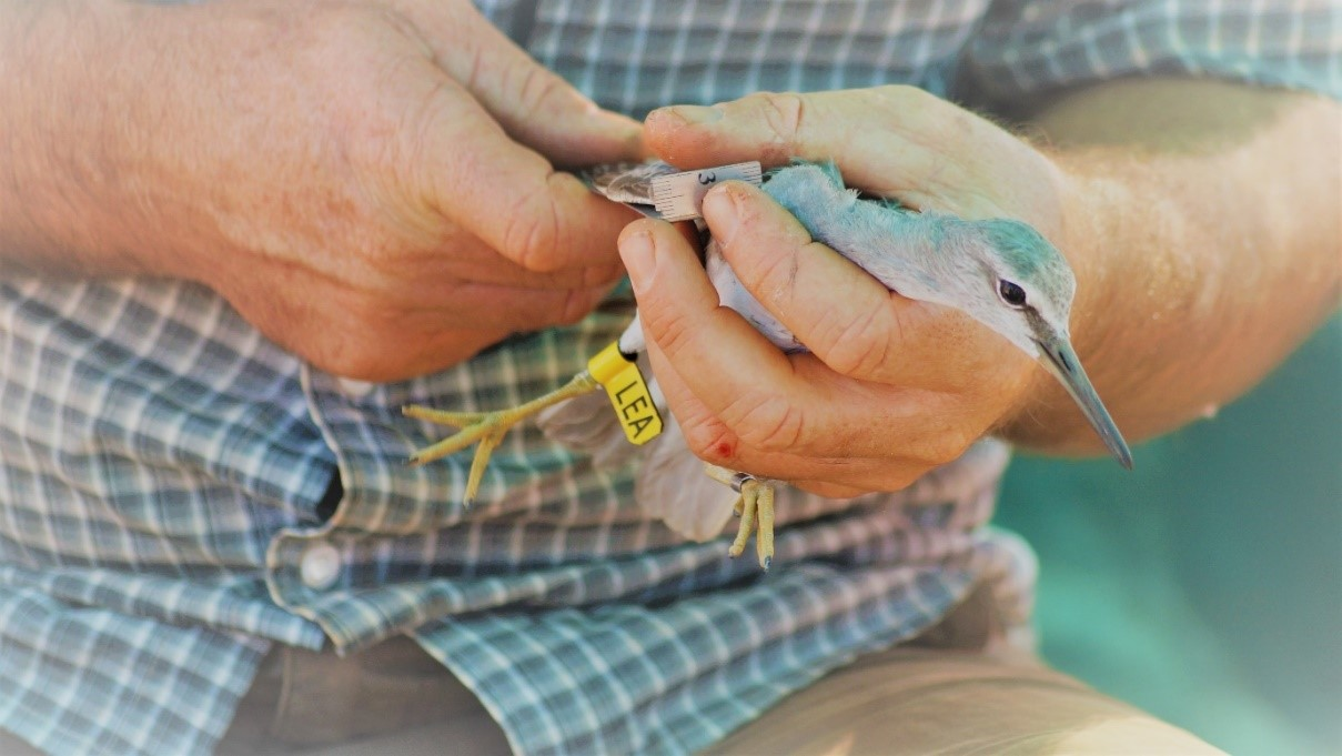 Grey-tailed Tattler getting its wing measured