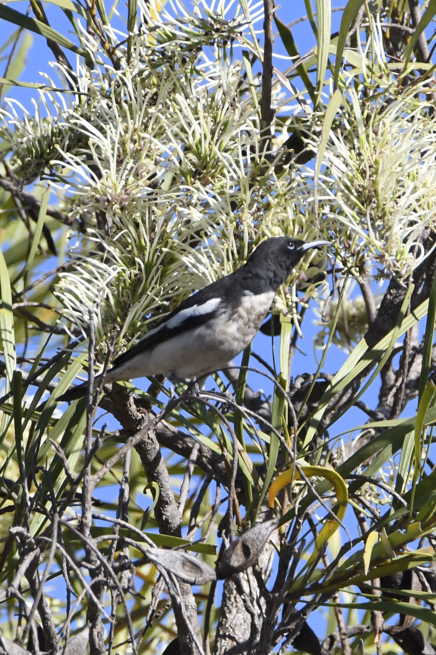 Pied Honeyeaters have been stopping at feeding on Hakea macrocarpa (photo: Andrew Taber)