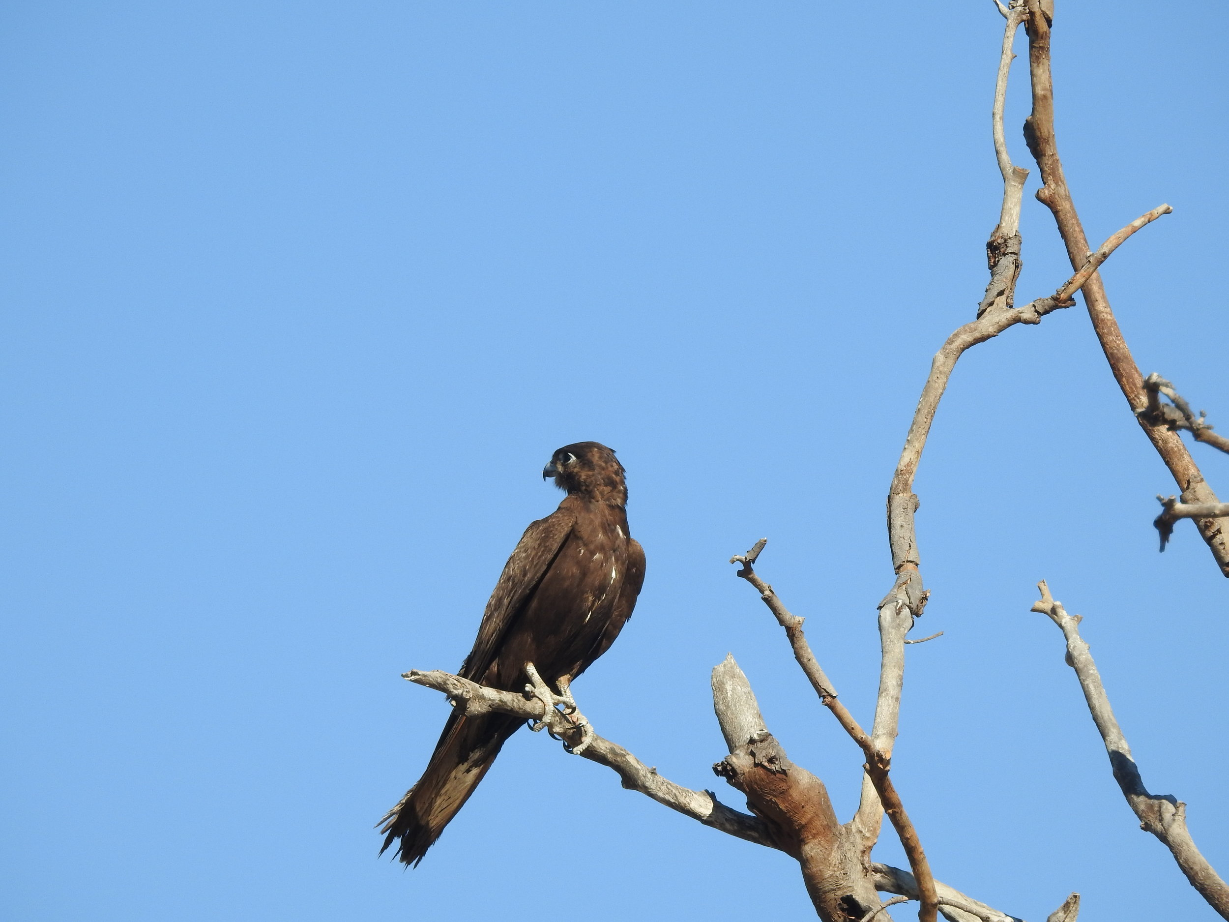 Black Falcon seen at Tagarana Bore (photo: Nyil Khwaja)