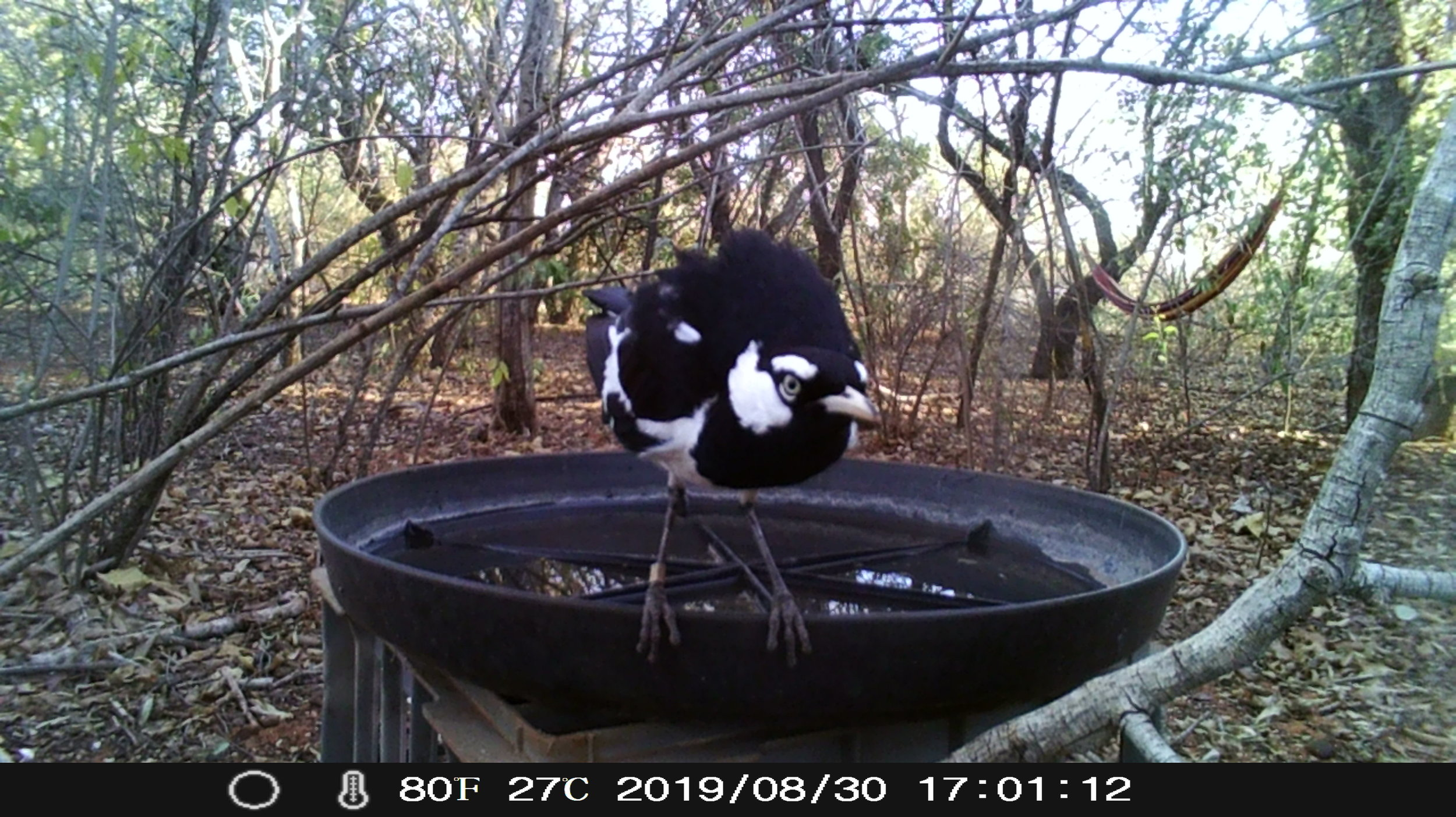 A banded Magpie-lark appears to be on sentry duty at the Wardens' bird bath.