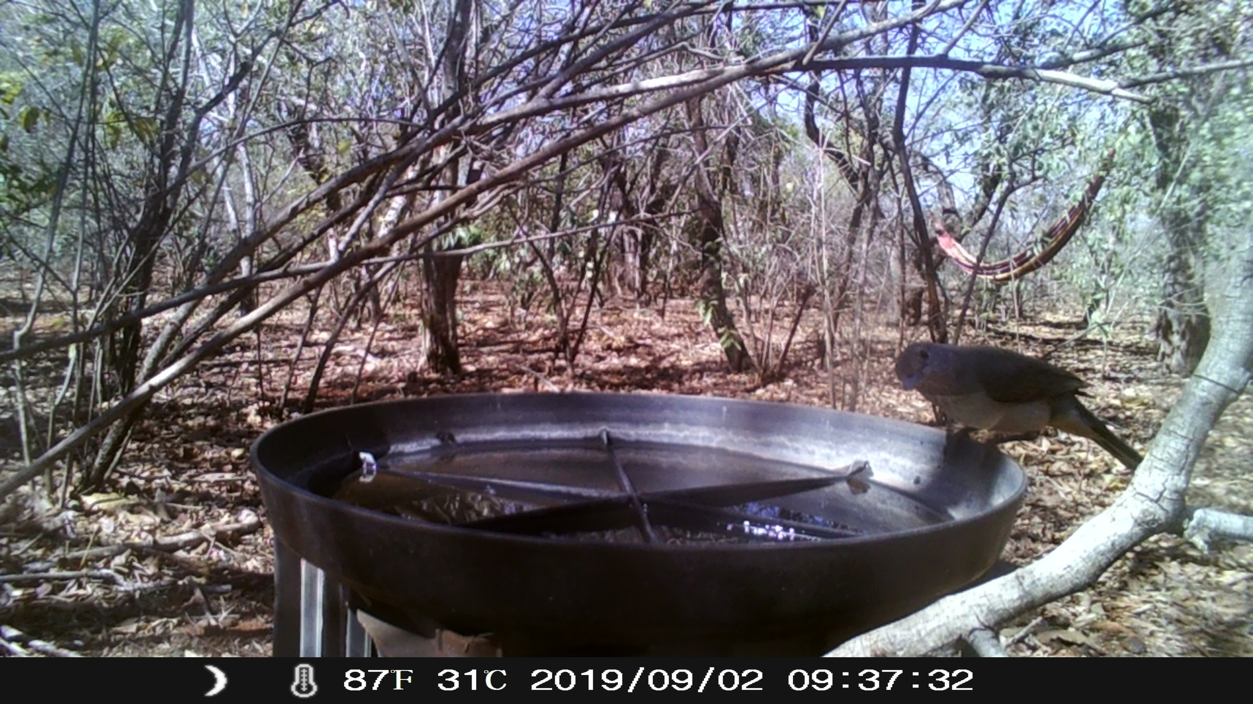 A Grey Shrike-thrush peers cheekily at the camera. This is one species yet to be recorded on the Wardens' bird bath list as the bird must actually be seen to interact with the water. Even the 4 photos taken of it by the camera trap didn't show it interacting with the water.