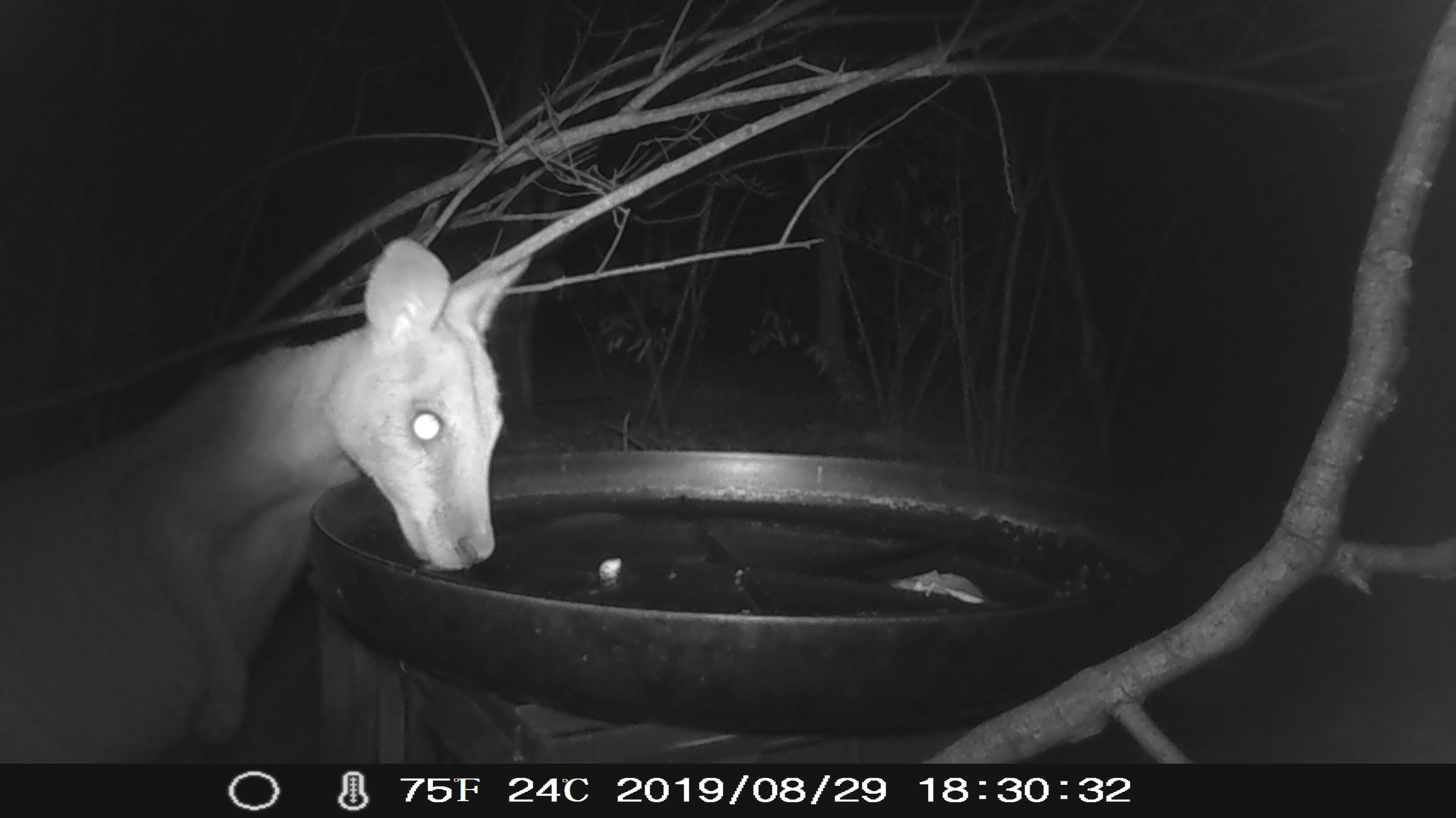 An Agile Wallaby sips water but fortunately doesn't knock over the bird bath (something that frequently happens overnight due to the wallabies).