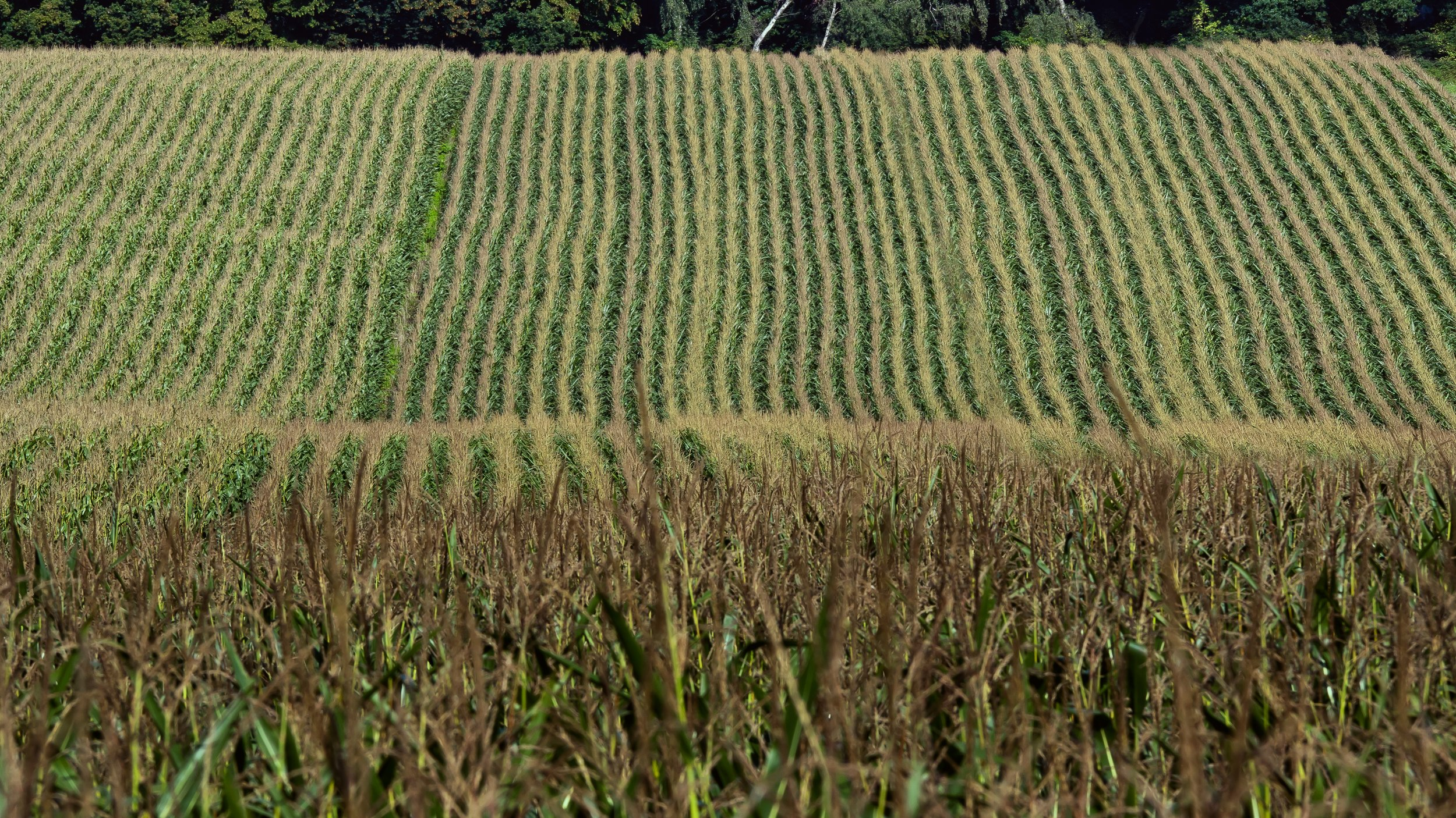 corn-973213.jpg