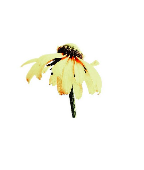 A single off-white daisy in profile, a day or two past it's best day against a stark white background.