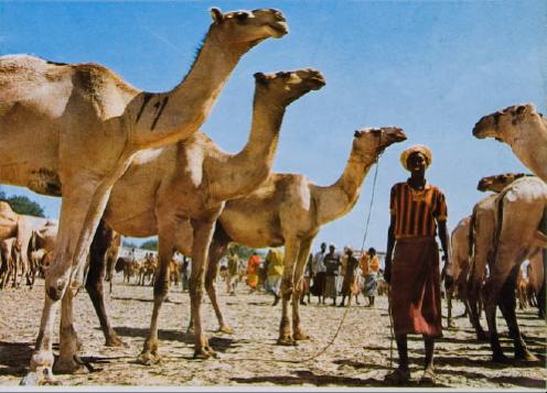 Camel Market - circa 1970