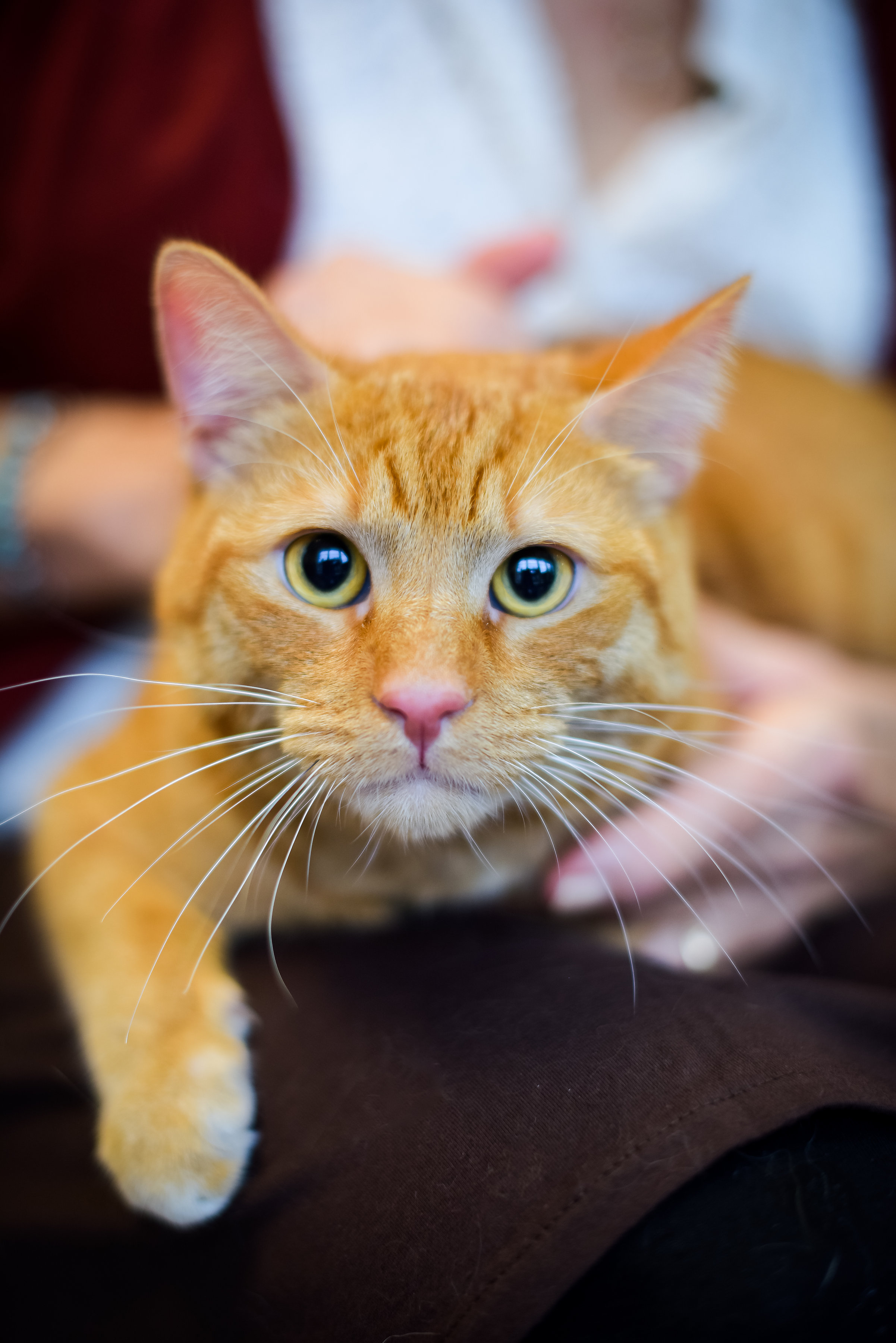 An orange cat with great white whiskers looks at the camera.