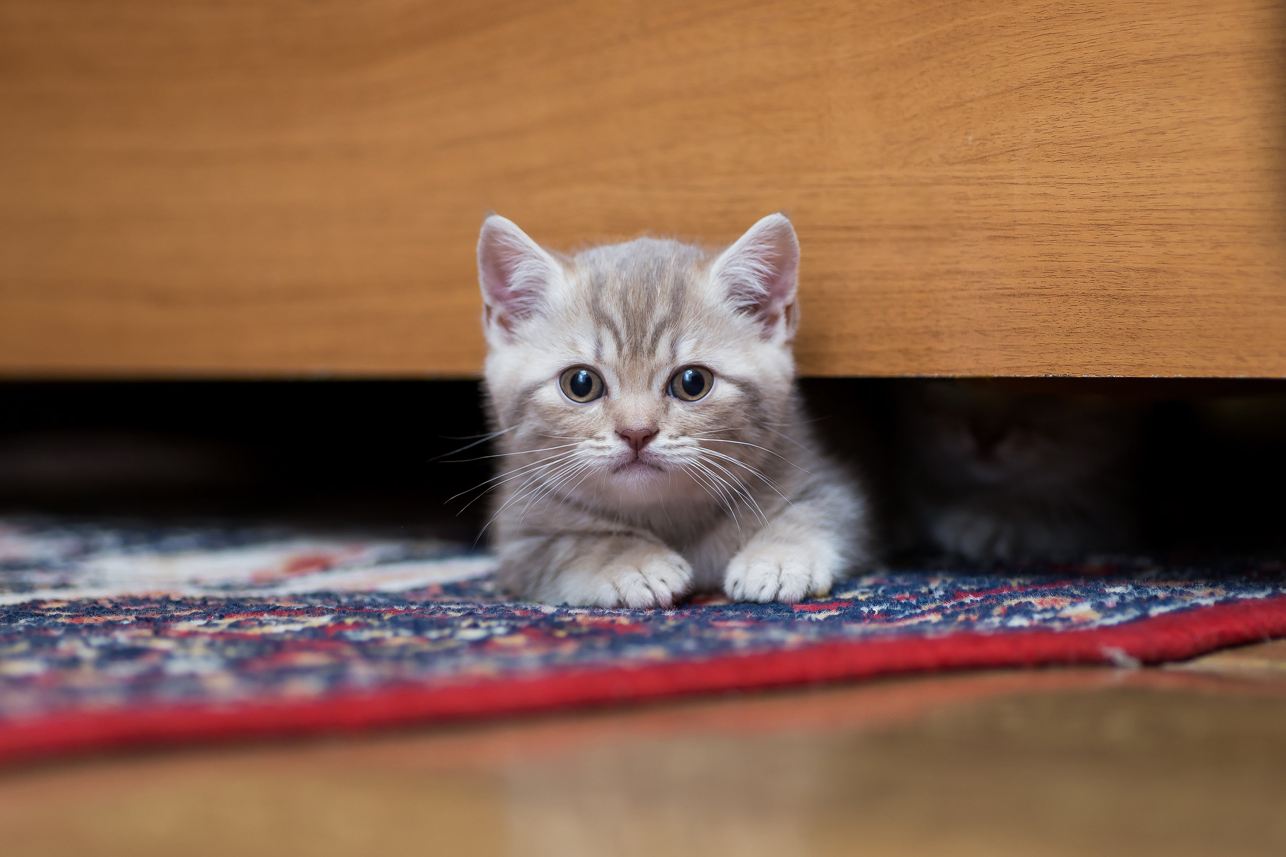 Kitten hiding under bed