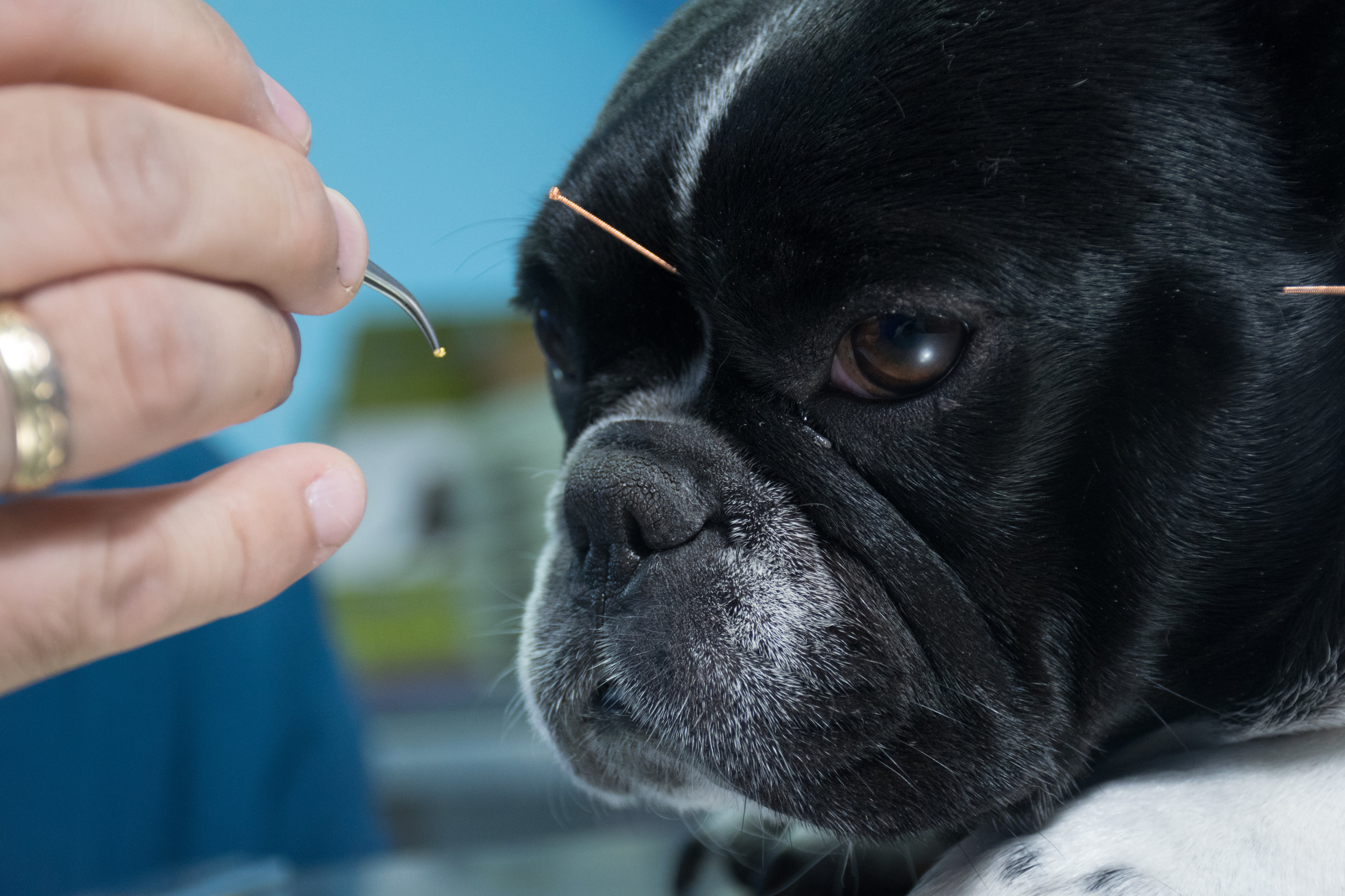 french bulldog getting acupuncture