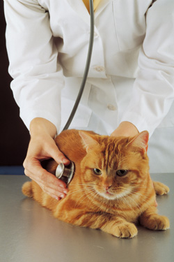 Orange tabby being examined by vet