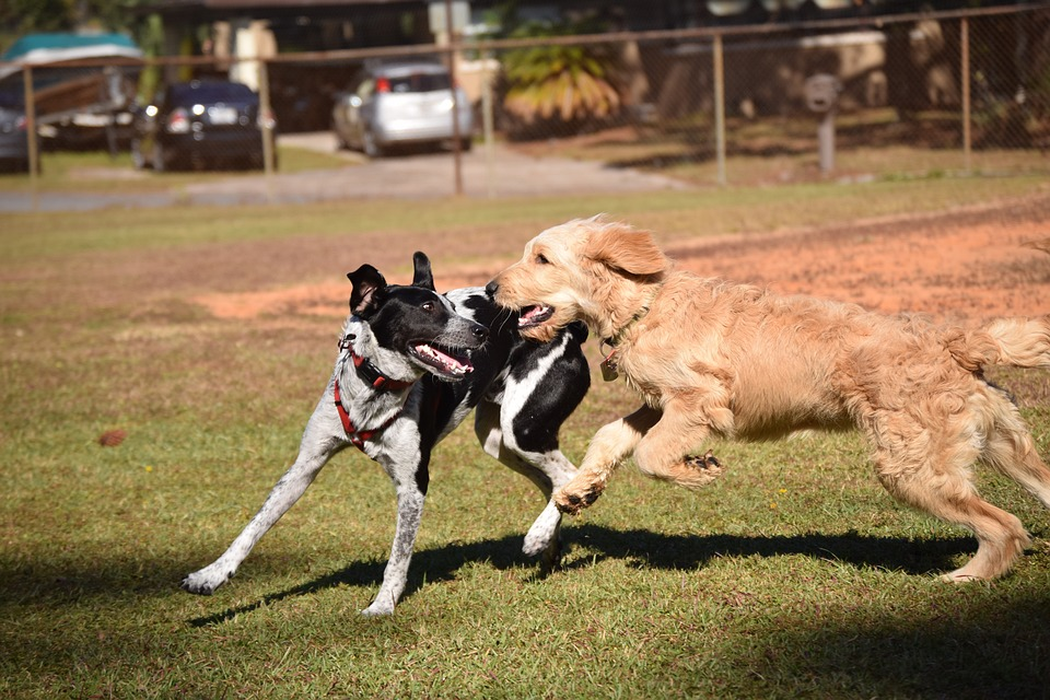 Black and white dog playing with brown dog