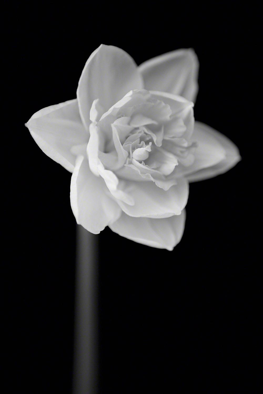 Daffodil #7