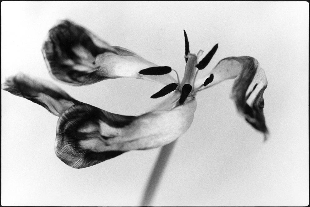 Tango Tulip