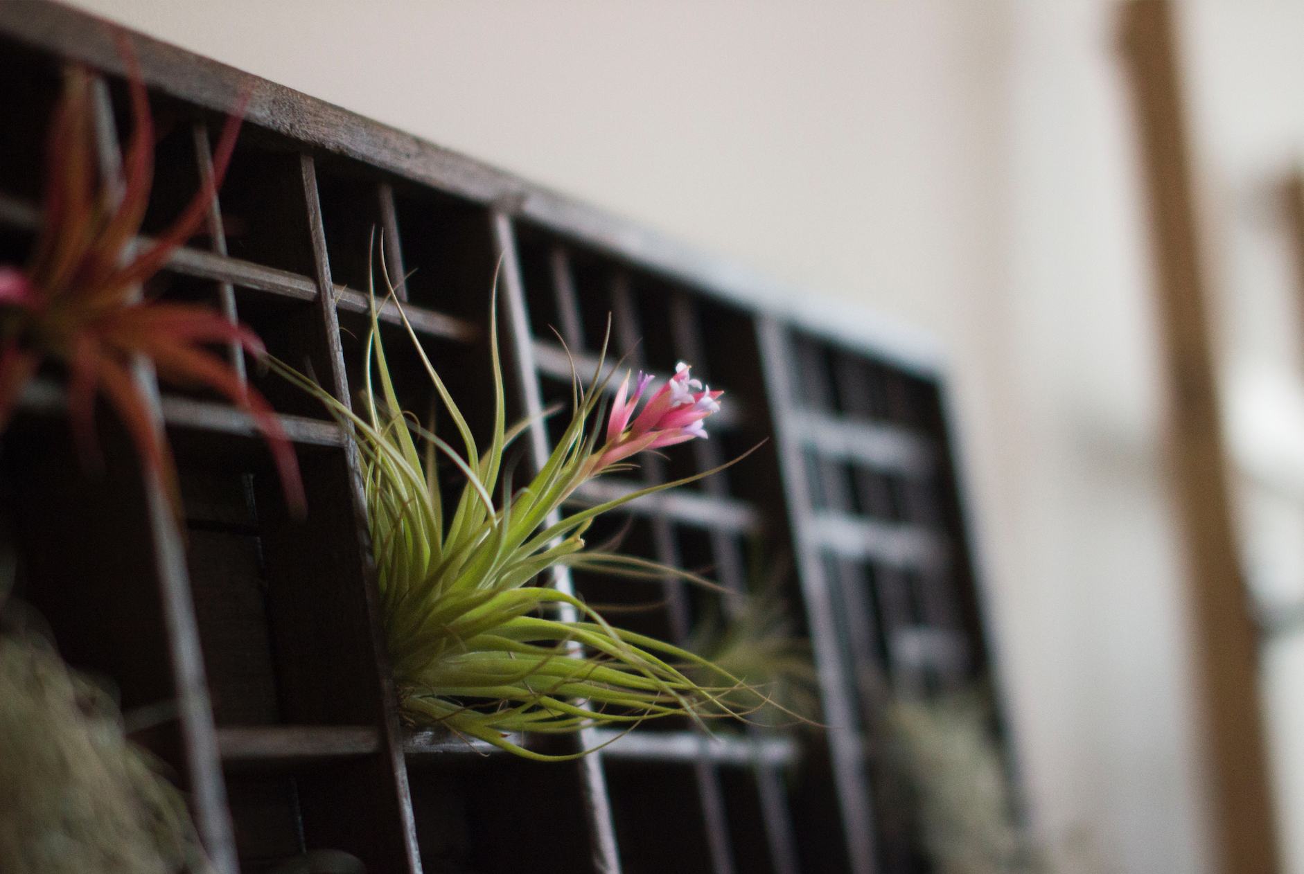 Air plants displayed in a Printers tray.