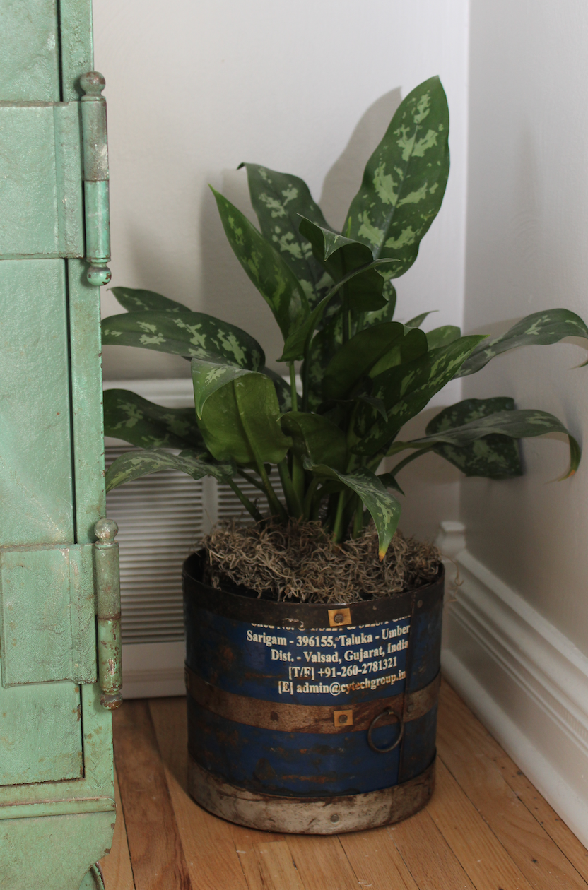 Plant in vintage can