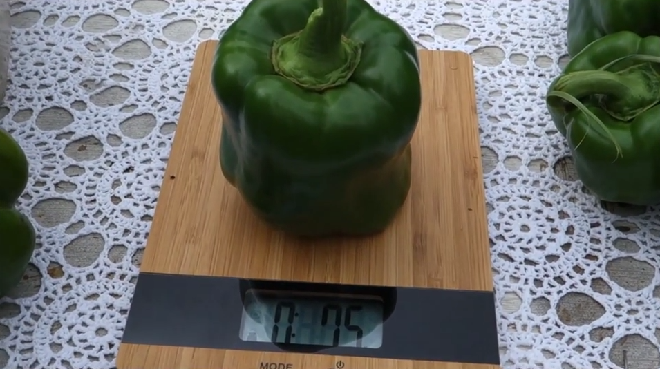 Quite the hefty Green Bell Pepper right from my organic vegetable garden!