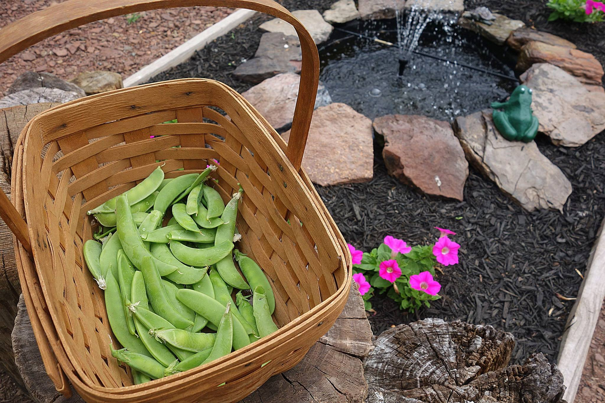 pea-pods-picked-from-my-garden-plant-based-protein