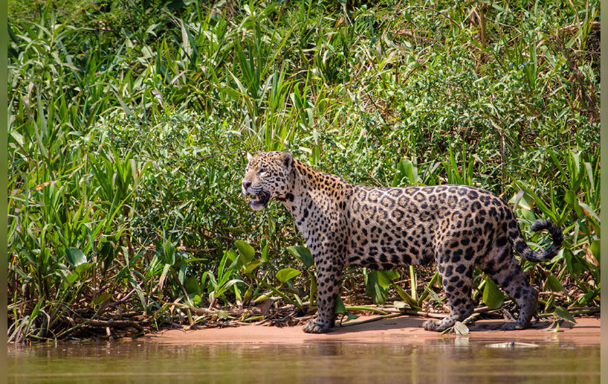 The stoic leopard of the jungle