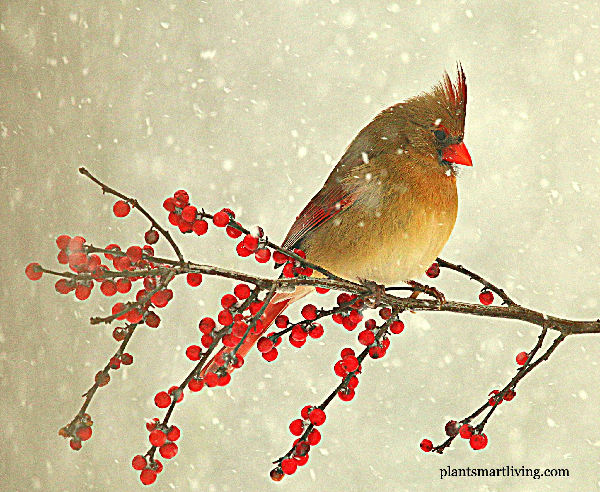 female-northern-cardinal-during-blizzard-2016