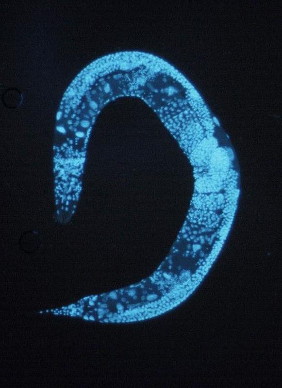 800px-Caenorhabditis_elegans.jpg