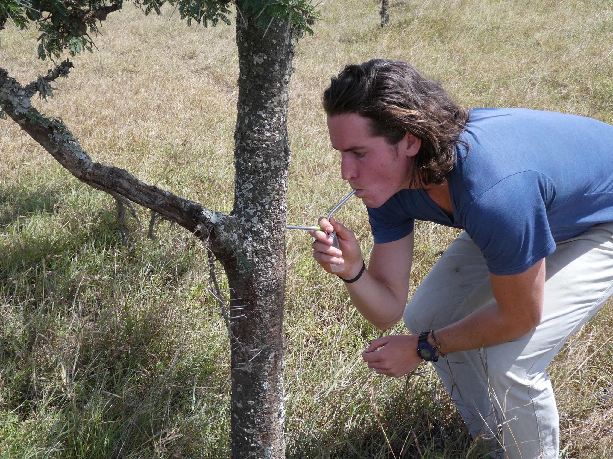 Collecting specimens of invasive  Pheidole megacephala