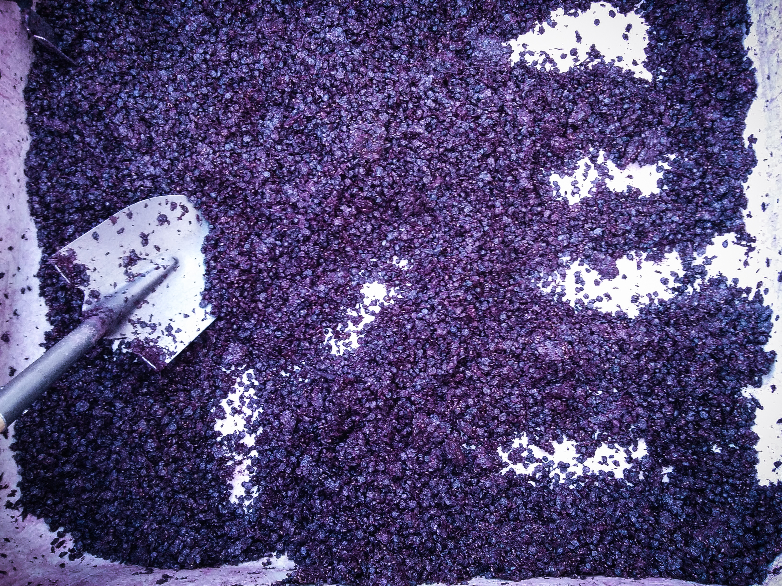 Shoveling Dry Creek Zinfandel Pomace...don't worry we cleaned the shovel first.