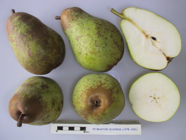 Pitmaston Duchess, a 19th century perry pear originally from Worcestershire.  Picture credit: UK National Fruit Collection. Contains public sector information licensed under the Open Government Licence v2.0.