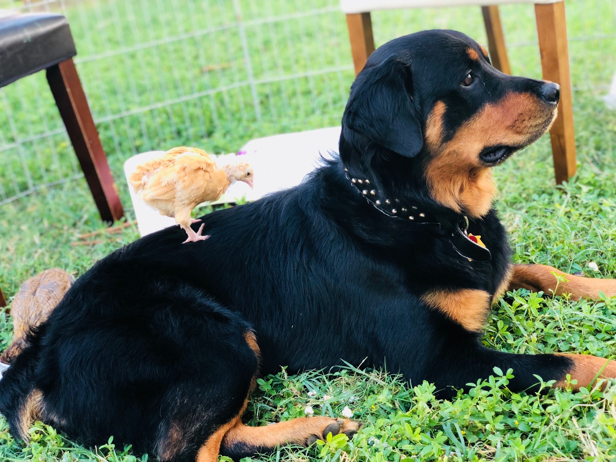 MILO: 18 month old Rottweiler mix. I live in Mākaha and my favorite thing to do is snorkel with my family and hang out with my chickens.