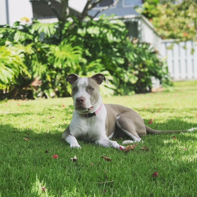 SKY: 1.5 yr old . I live inMililani and love to cuddle & play ball with my 3 human sisters.