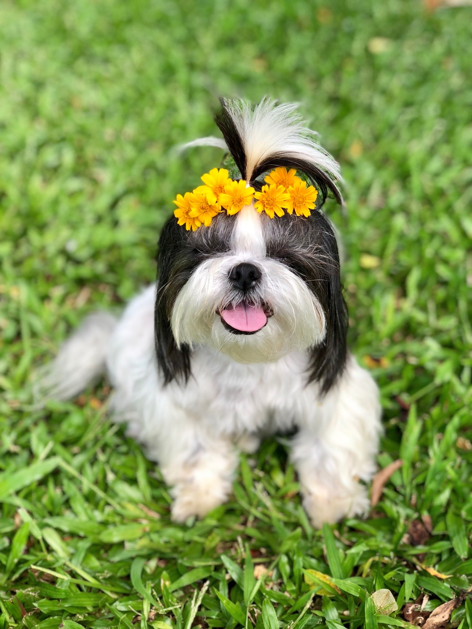 COOKIE: 8 yr old Shih Tzu. I'm from Wahiawa and I love to eat, play with my furiends at the dog park, dress up, accessorize and model for pictures.