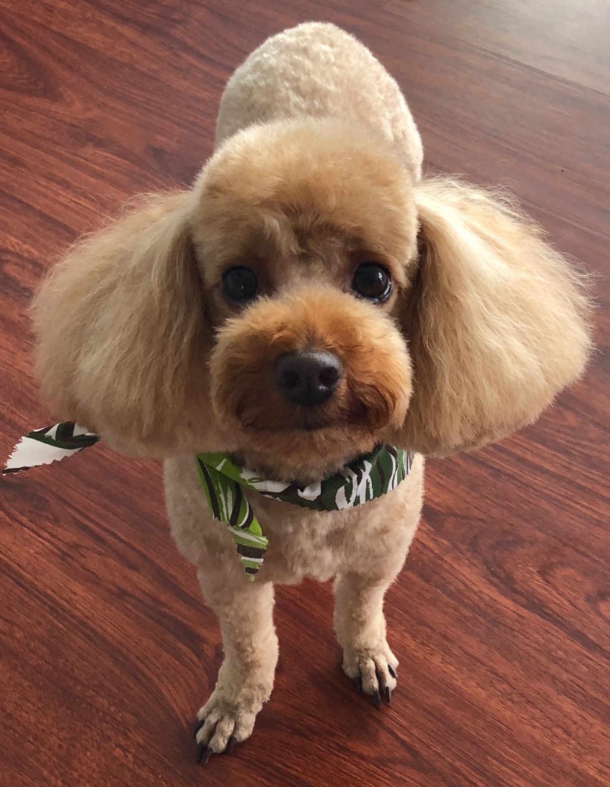 HAMILTON: 5 yr old Toy Poodle. I'm from Mililani and my favorite thing to do is to follow my mommy around everywhere.