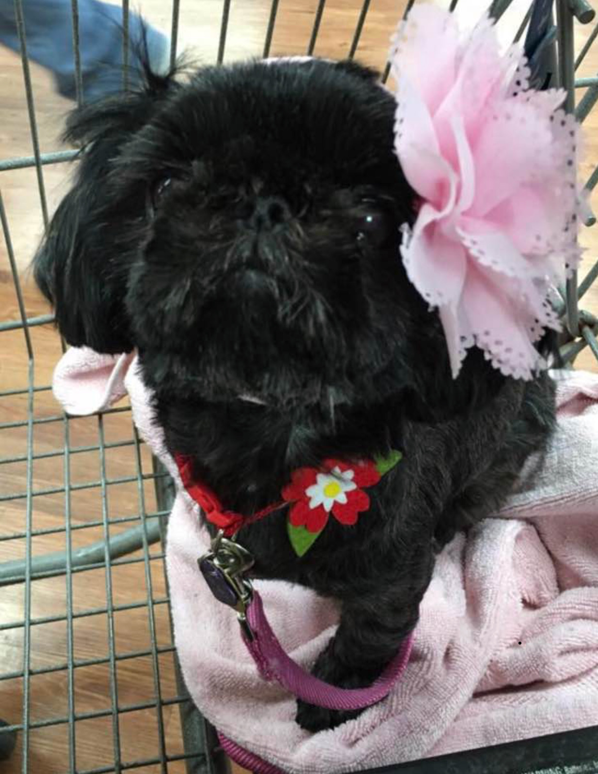 """DEE-DEE: 6 yr old Shih Tzu. I'm from Honolulu and in my spare time I love to visit seniors at care homes and make them happy as a Hawaiian Humane Society """"Joy Ambassador."""" I love treats and giving high fives!! My absolute favorite thing to do of all time is to snuggle up to someone (I love people!)"""
