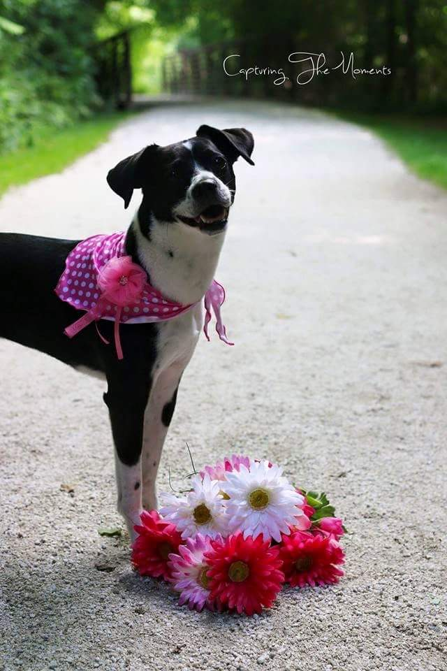 VICTORIA ANN: 9 yr old Beagle-Dalmatian mix. I was born and raised in South Carolina, but now live in Pearl City. My favorite thing to do is fall into your arms to get kisses and chest rubs. Also, I like to ring around like a weasle with my back arched for treats.