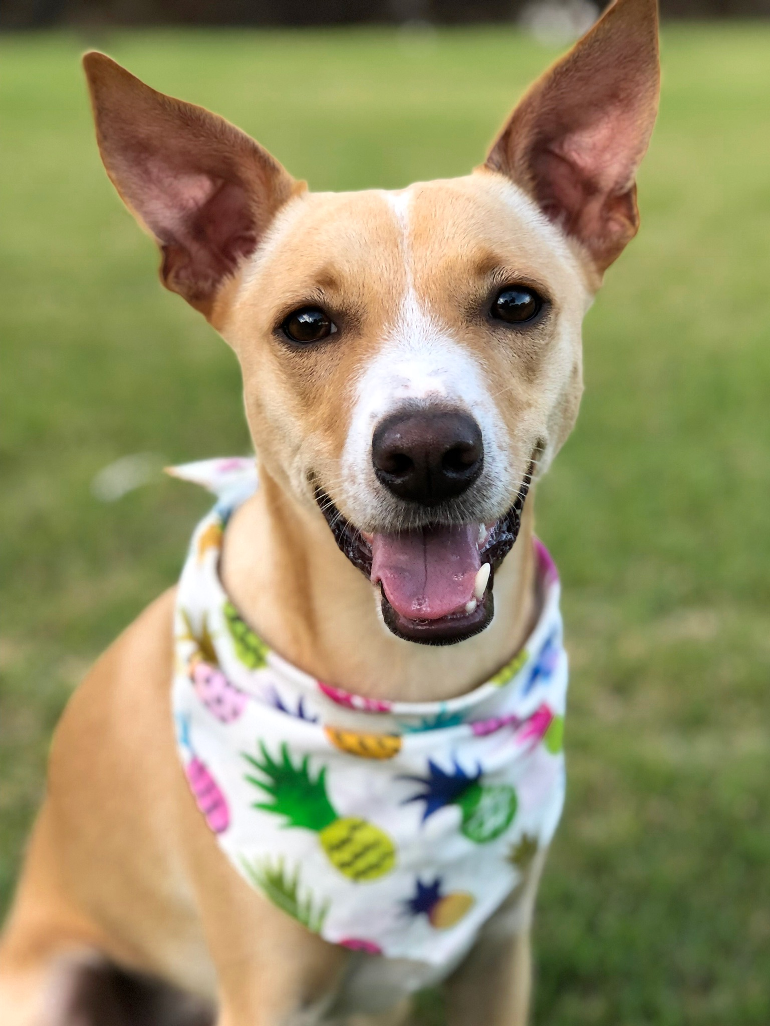 """APOLLO: 1.5 yr old Terrier mix. I live in Mililani and I'm a true """"Hawaiian dog,"""" because my favorite thing to do is sunbathe ☀️!"""