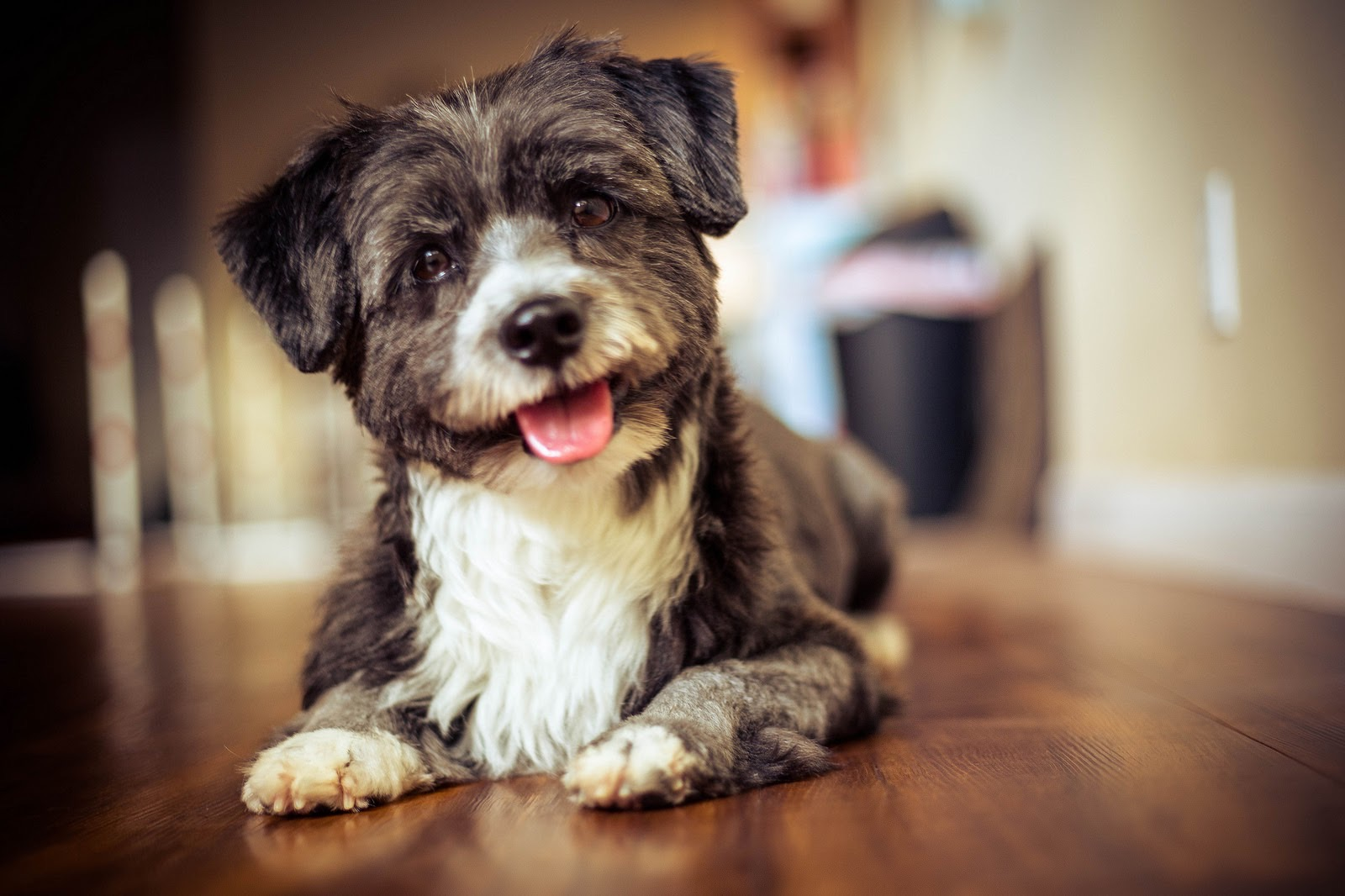 DASH: 5 yr old Shih Tzu/Pomeranian/Papillon/White Haired/Chihuahua Terrier mix.I lives in Pearl City and my favorite thing to do is play with my fur-pals at ViPaws!