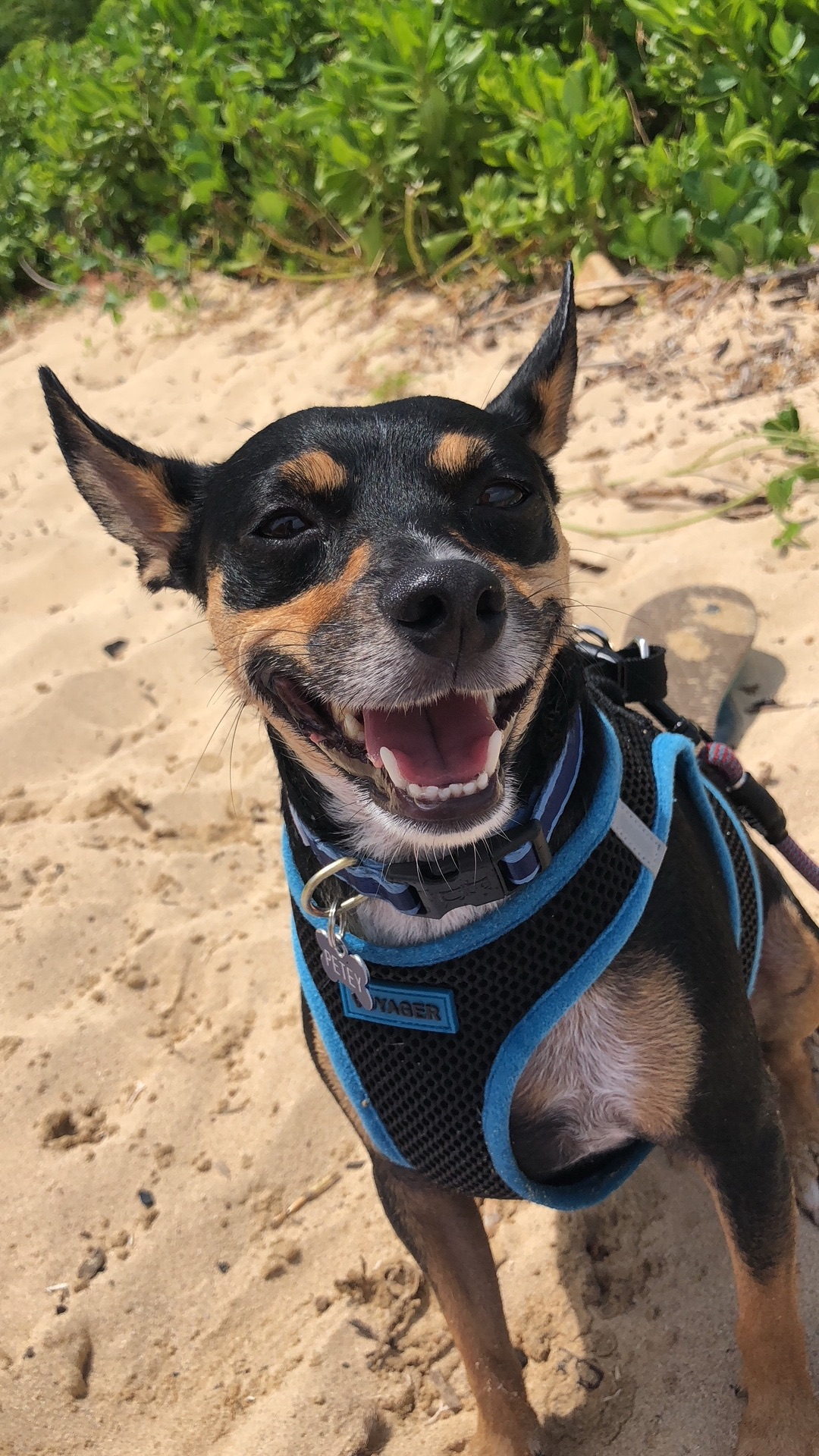 PETEY: 3 yr old MinPin Terrier mix. I'm from Kaimuki and my favorite thing to do is go to the beach and play fetch!