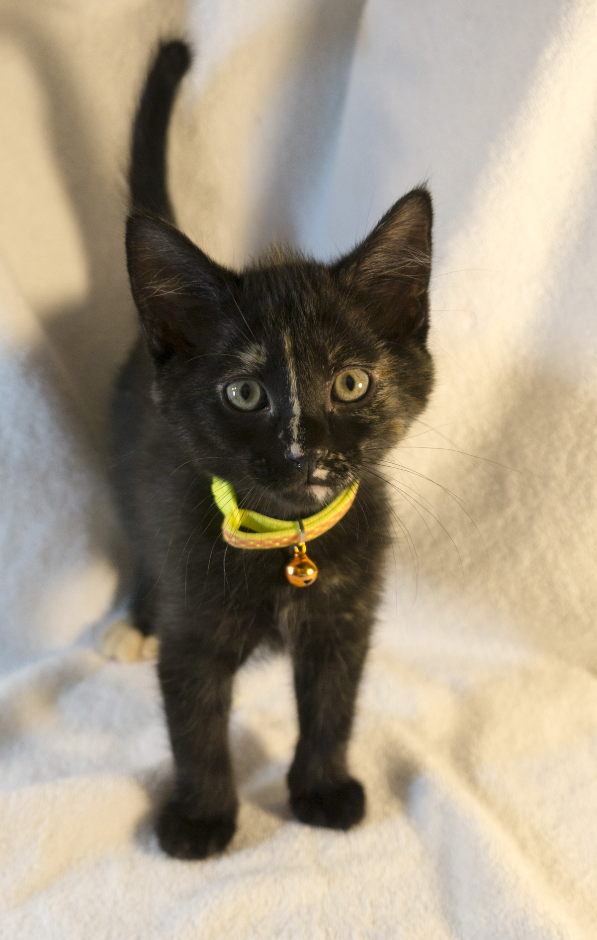 We love all the kittens here at the Academy, but  Spot  loves us back more than any of the others.  She's always the first to greet us when we come into the room, and the most likely to curl up and sleep on a lap.  She's likely to grow up into a great lap companion.