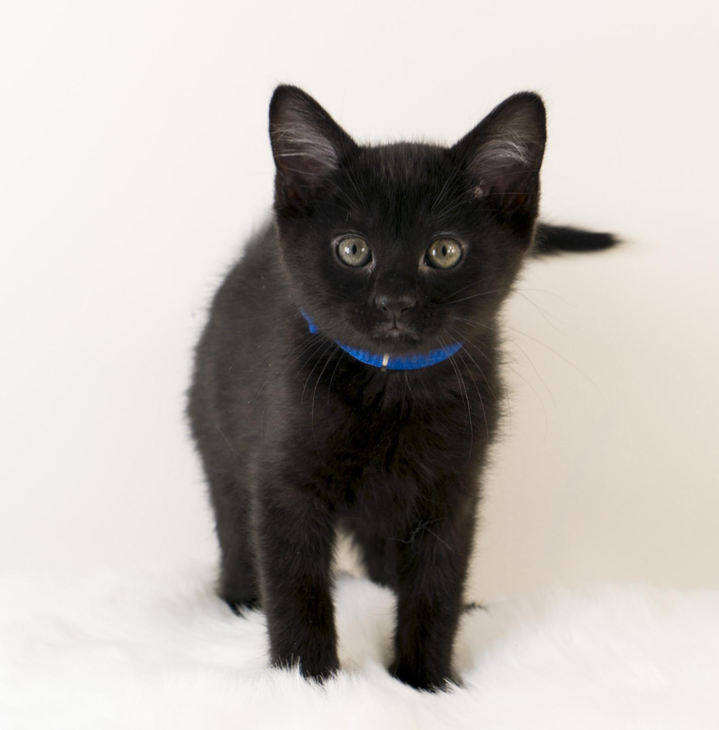 Chiffon - Female - Blue Collar