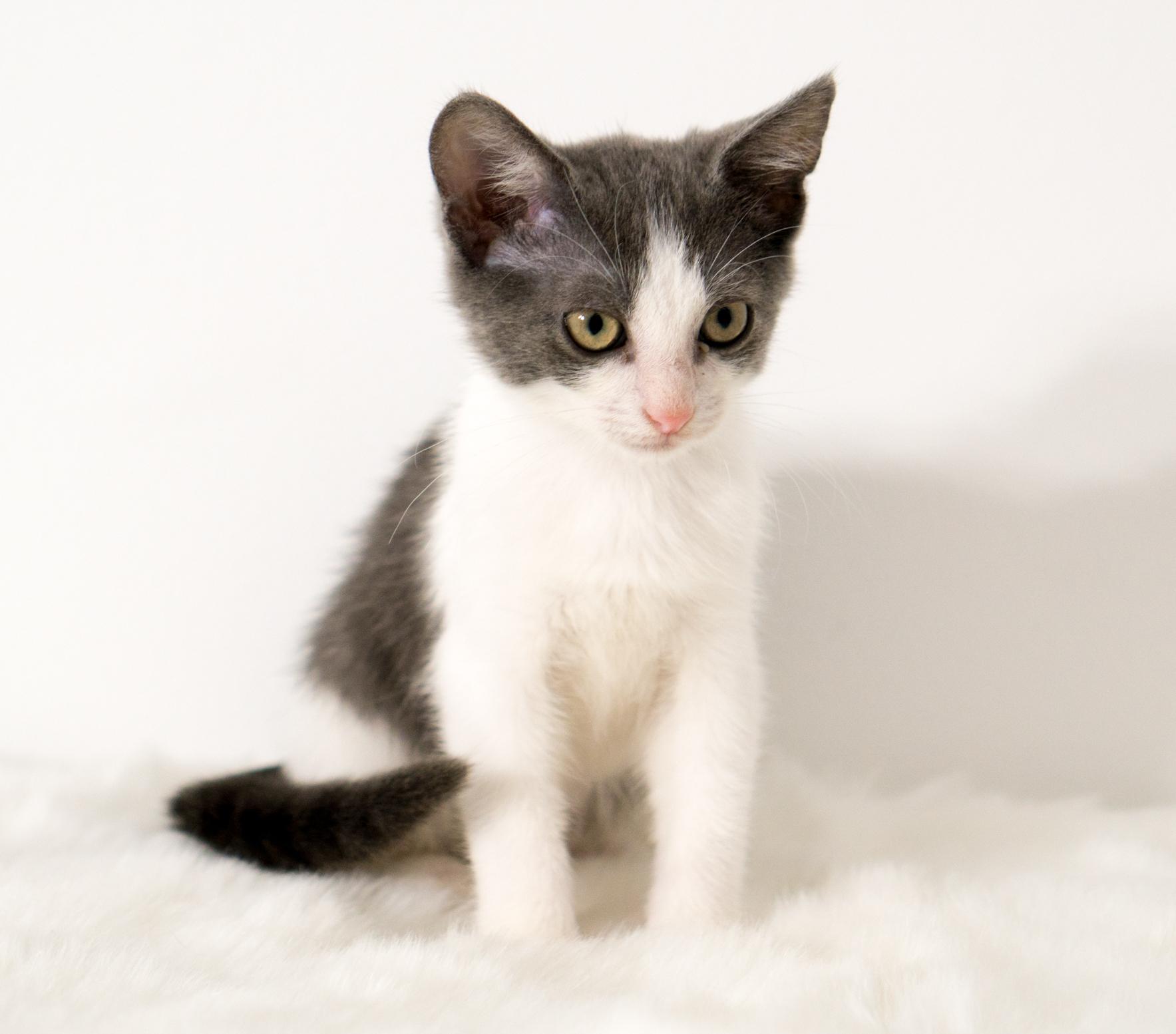 Sassafras - Female - 2-2.5 months