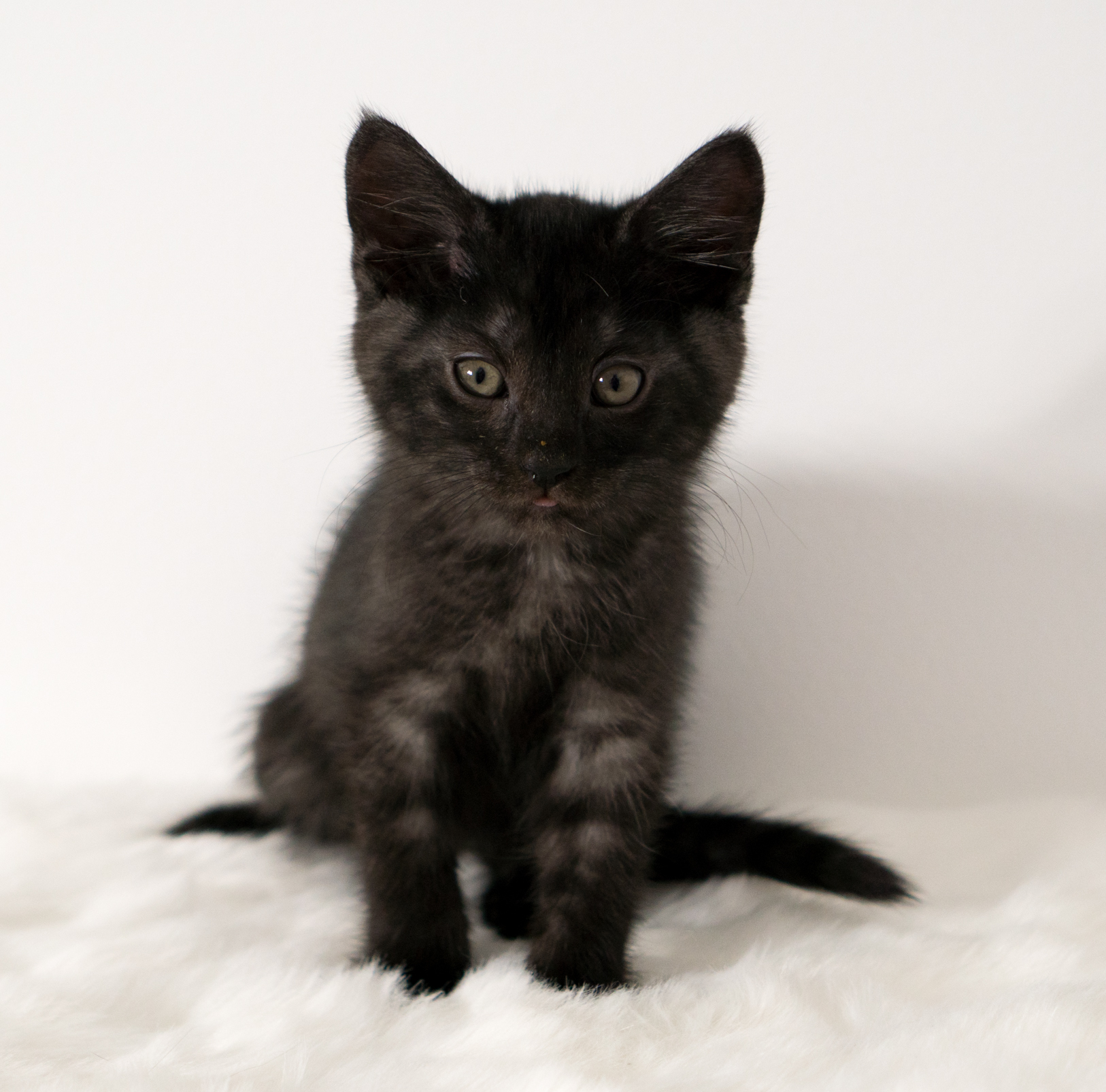 Buckeye - Male - 2 months