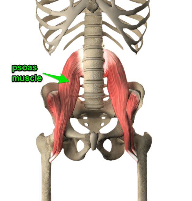 psoas_muscle_yoga_anatomy_3D.png